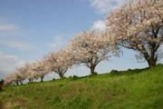 桜と川の土手の壁紙
