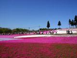 秩父芝桜の丘の壁紙